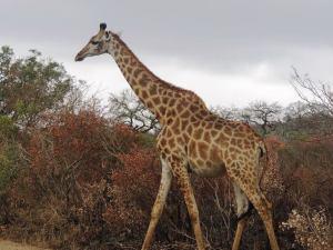 2561-giraffe